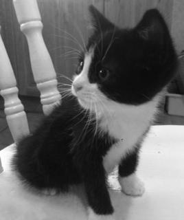 sassi cat kitten